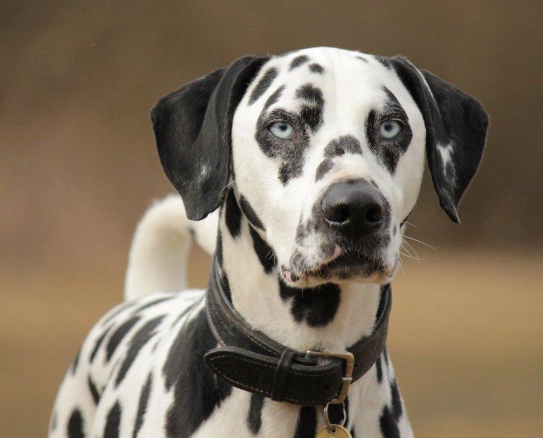 Dalmatian Dog With Blue Eyes