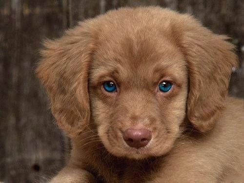 Blue-eyed Retriever puppy