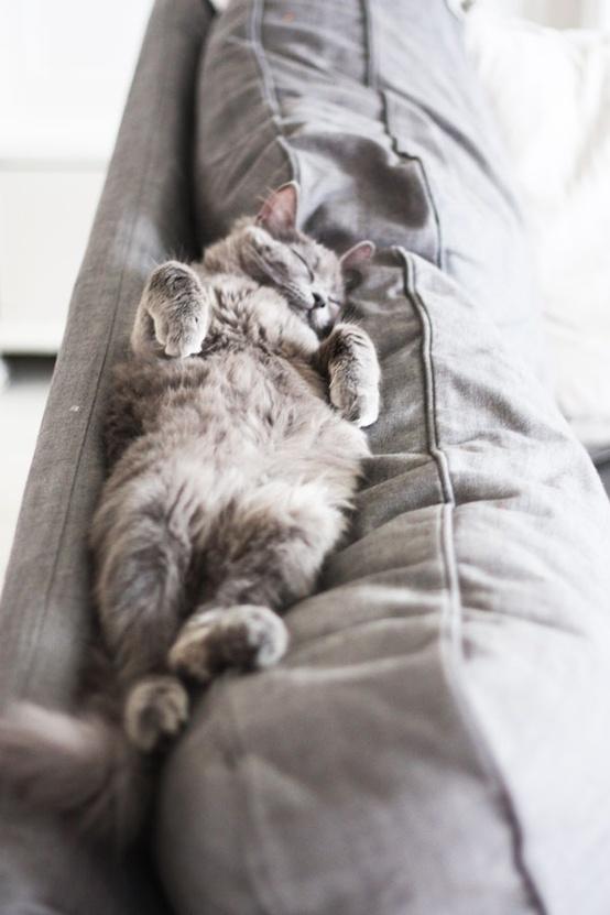 Silver sleeping cat