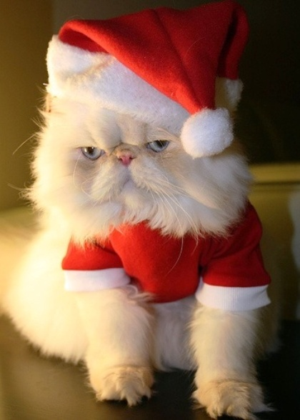 Santa Claws | Silver Chinchilla Persian Cat