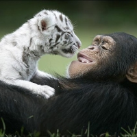 Cute Chimp With a White Tiger Baby