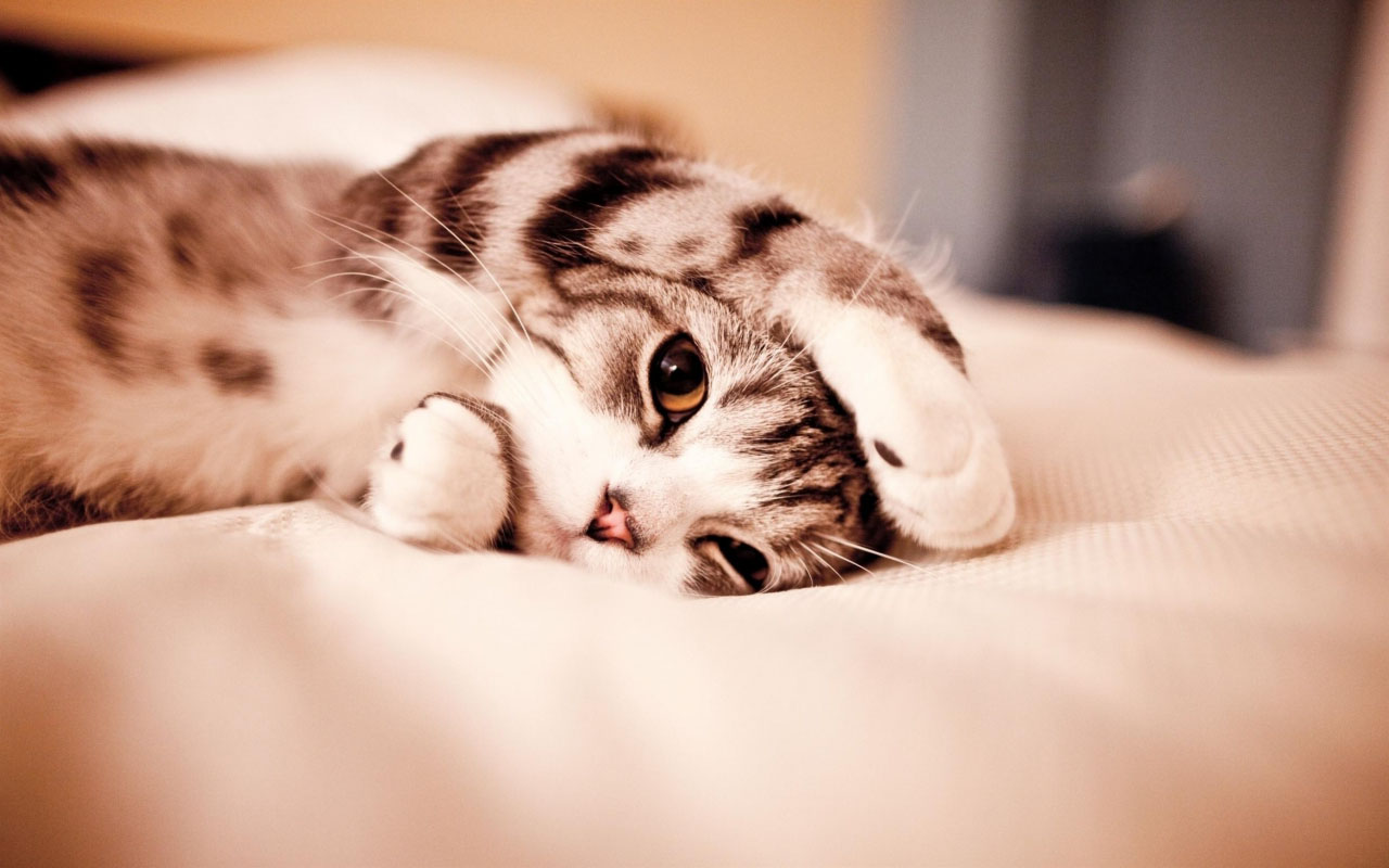 Gray Kitten Laying on The Bed