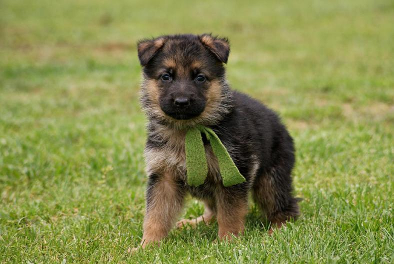 German Shepard Young Dog