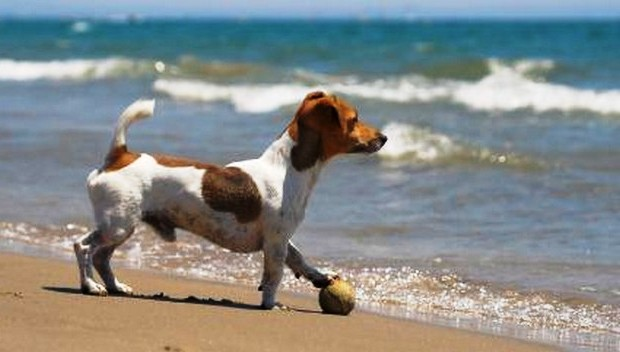 Jack Russell Terrier on The Beach