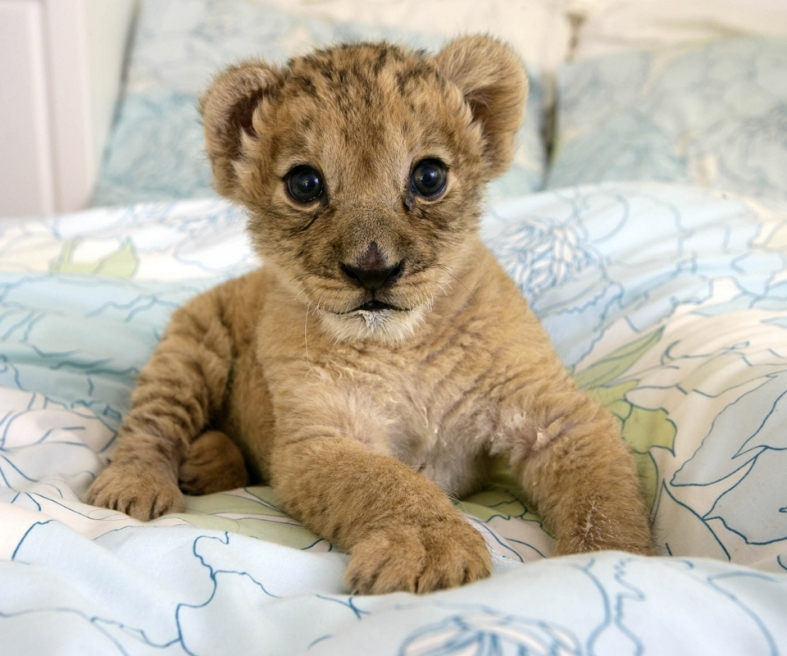 Little Baby Lion