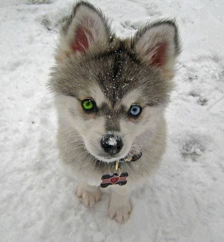 Little Husky in The Snow | Silver Chinchilla Persian Cat Smiling Dog And Cat