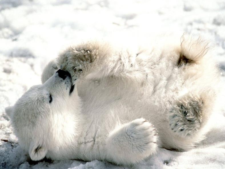 Sweet Polar Bear in The Snow