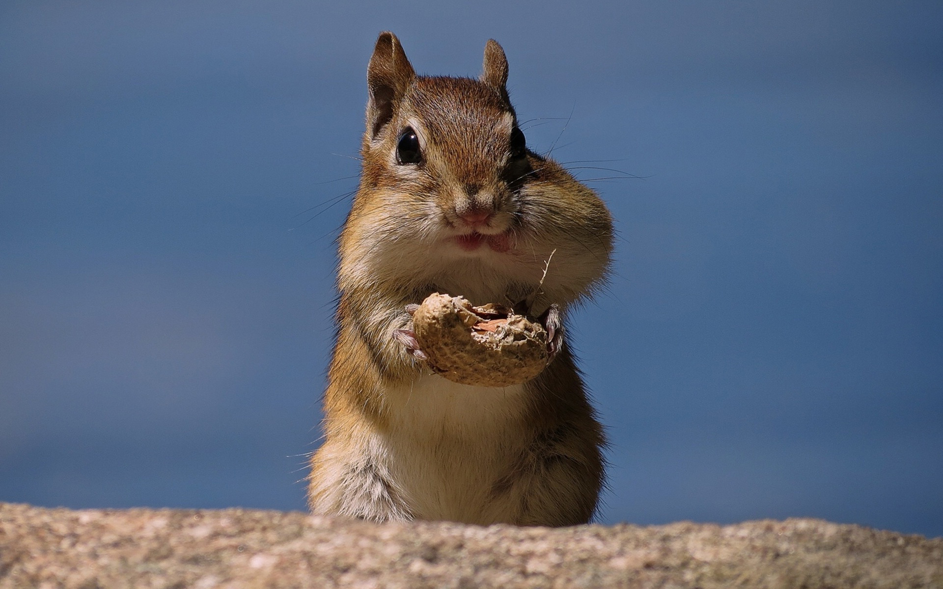 Eating Walnut Squirral