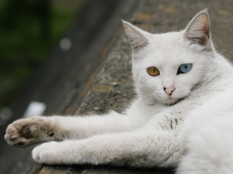 Beautiful Turkish Angora Cat