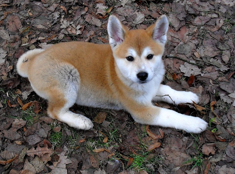 Akita Inu Dog with Beautiful Eyes