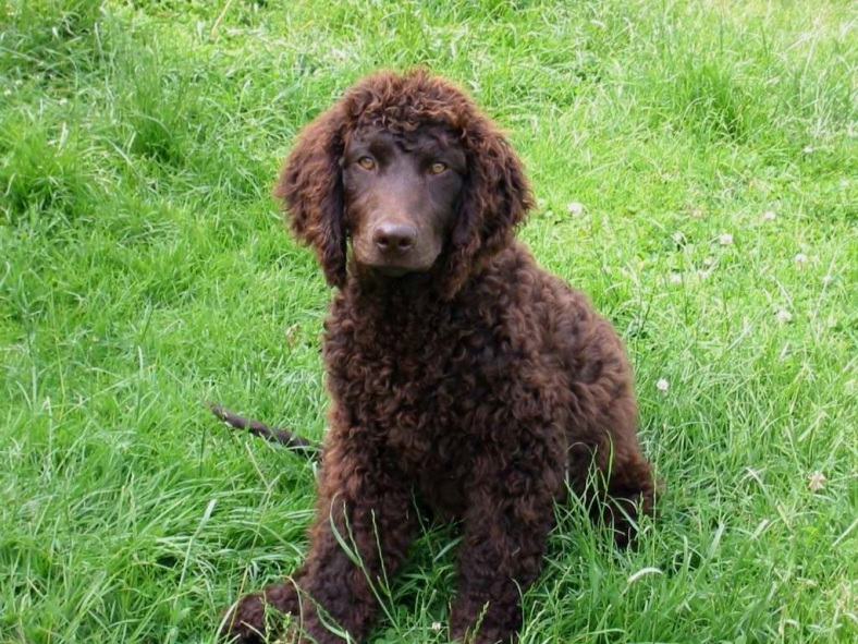 Clever American Water Spaniel