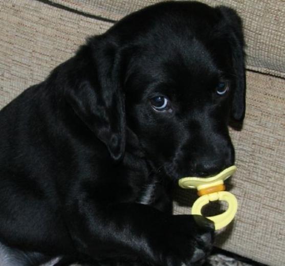 Black Labrador Retriever puppy with pacifier