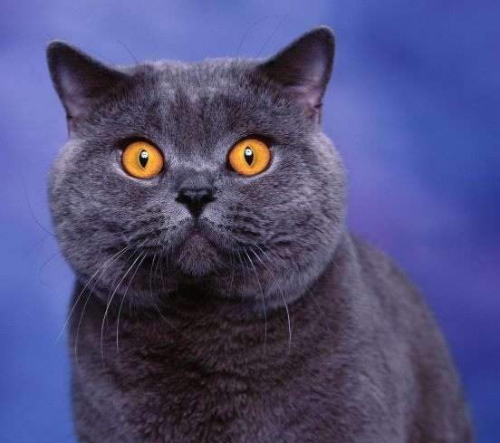 British shorthair blue kitten with yellow eyes
