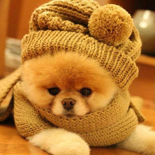 Fluffy little brown puppy with a hat