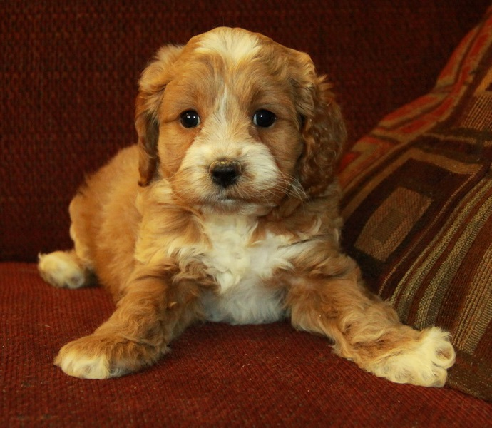 Cockapoo brown and white little puppy