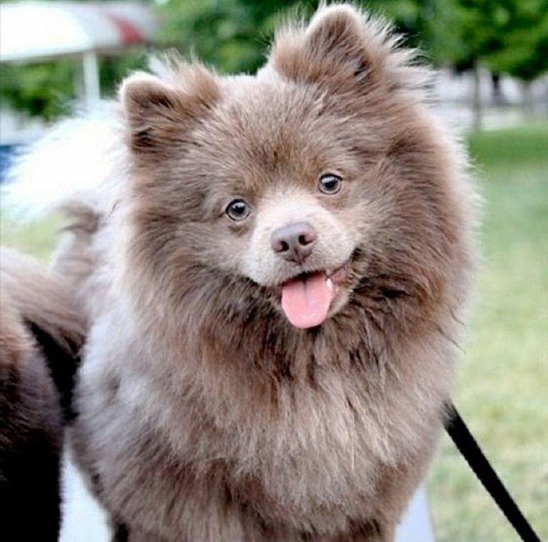 Sweet Pomeranian Puppy
