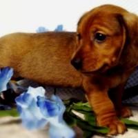 Little Dachshund Dog