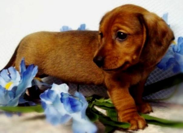 brown dachshund puppy