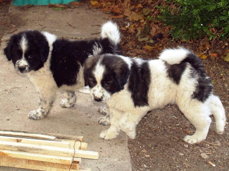 Two Karakachan Bear Dogs from Bulgaria