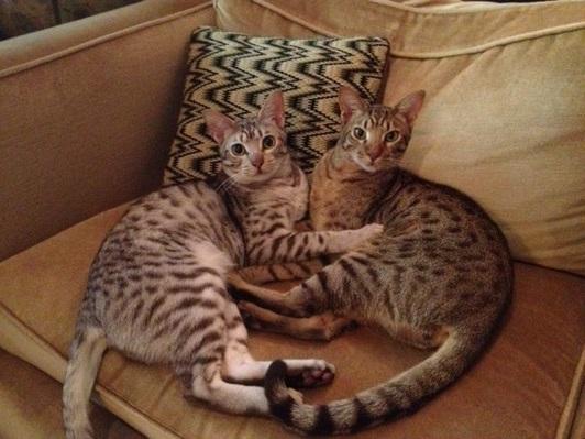 Hugging Ocicat Kittens