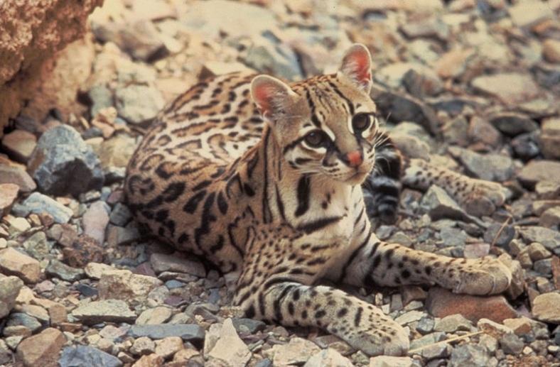 ocicat kitten silver chinchilla persian cat