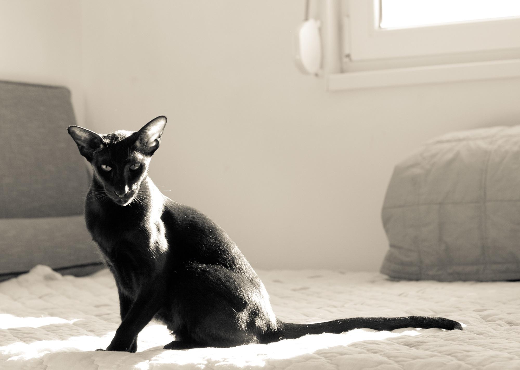 The Bat this city deserves Oriental-cat