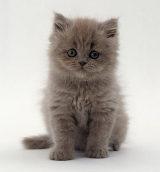 Little grey Persian cat