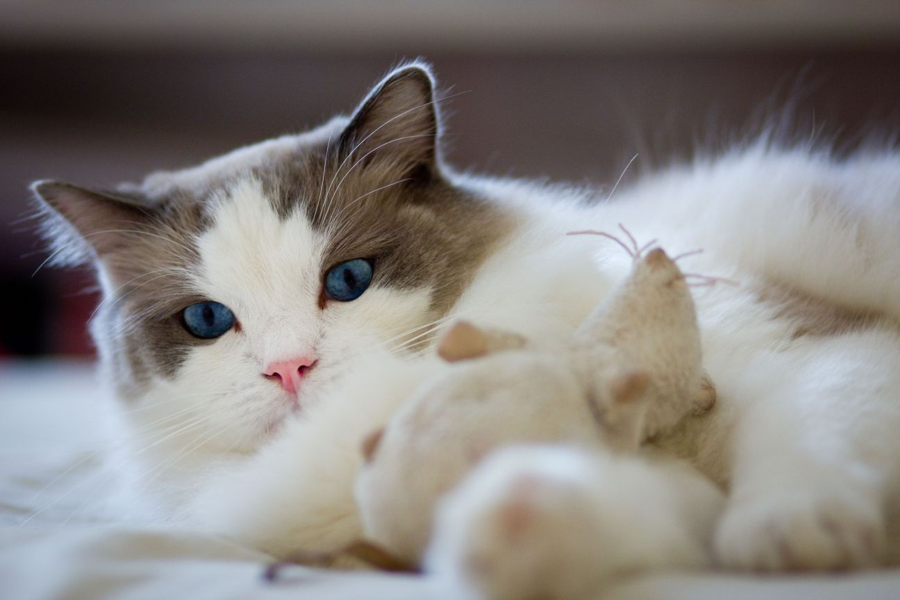 Amaizing Ragdoll Cat with Blue Eyes Playing with Mouse