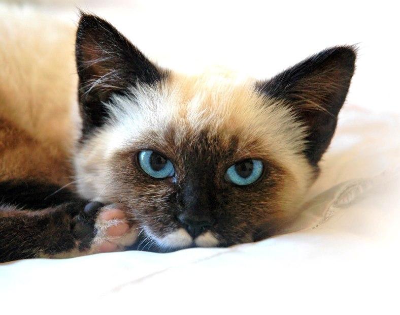 Beautiful Laying Siam Kittern