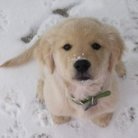 Golden Retriever Puppy in The Snow