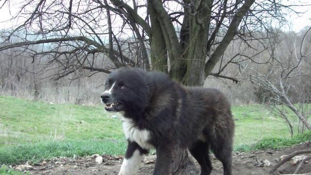 What dog looks like a st bernard 10