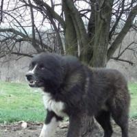 Angry Karakachan Bear Dog