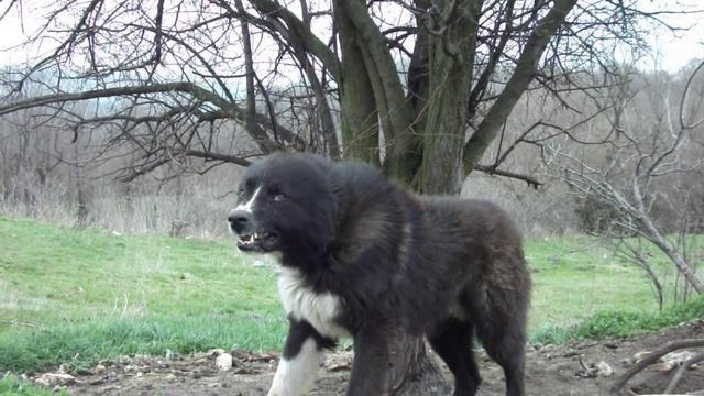 Beautiful Karakachan Bear Dog