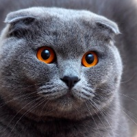 Silver Scottish Fold Cat