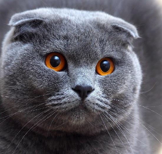 Silver Scottish Fold Cat | Silver Chinchilla Persian Cat