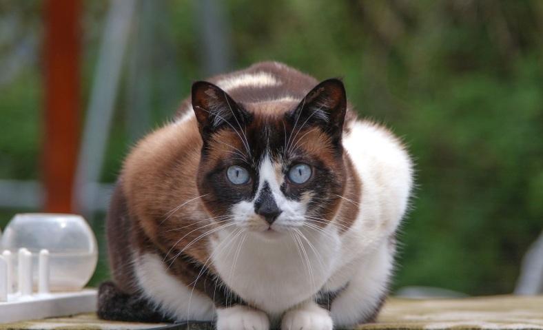 Beautiful Snowshoe cat