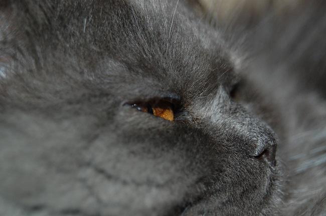 Golden Eyed Cat