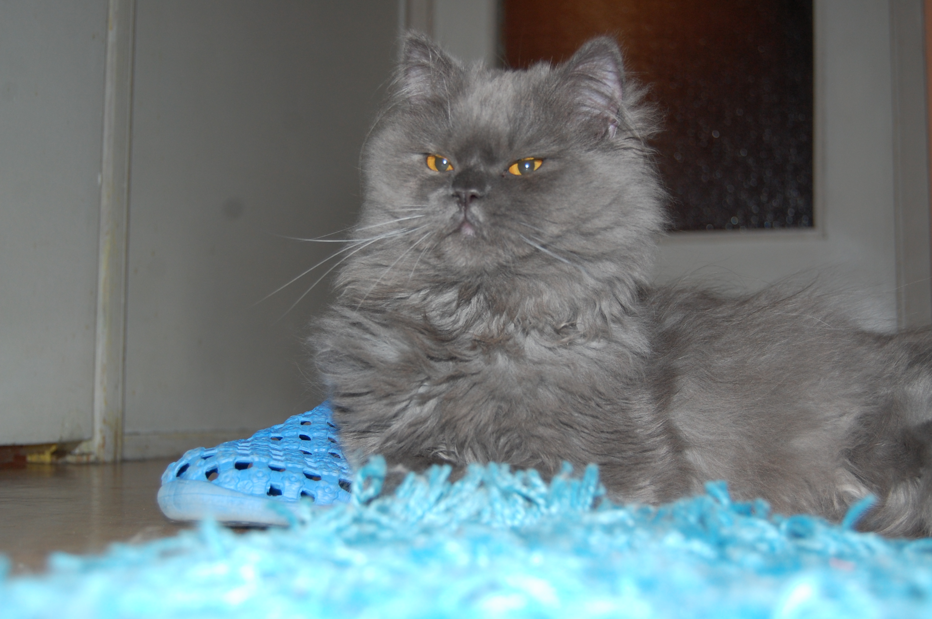 Proud Persian Cat