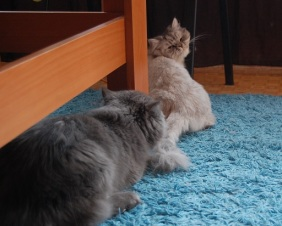 Two Silver Chinchilla Persian Cats Having Sex