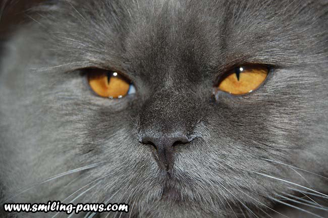 Silver Chinchilla Persian Cat With Golden Eyes